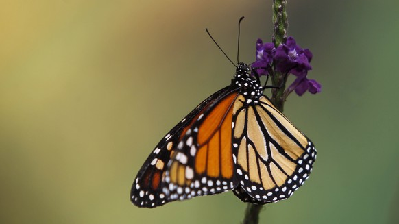 epa06660428 A view of a Monarch butterfly during the inauguration of the Monarch butterflies month at Chapultepec's Zoo in Mexico City, Mexico, 10 April 2018.  EPA/Sáshenka Gutiérrez