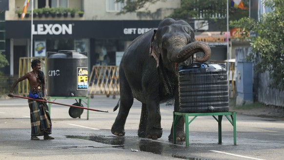 FILE - In this  Feb. 14, 2014 file photo, a domesticated elephant brought for an annual Buddhist temple festival drinks waters from a tank in Colombo, Sri Lanka. Sri Lanka's government says it is ready to forgive the owners of poached elephants and give them a chance to apply for an elephant license provided they can prove in court that they did not know the animals that were confiscated from them had been illegally captured from the wild. Though capturing wild elephants has been banned for decades and registration records indicate there should be only 127 elephants in captivity, most of them older, young elephants are a common sight in the country's 400 or so Buddhist religious processions and traditional ceremonies every year. (AP Photo/Eranga Jayawardena, File)