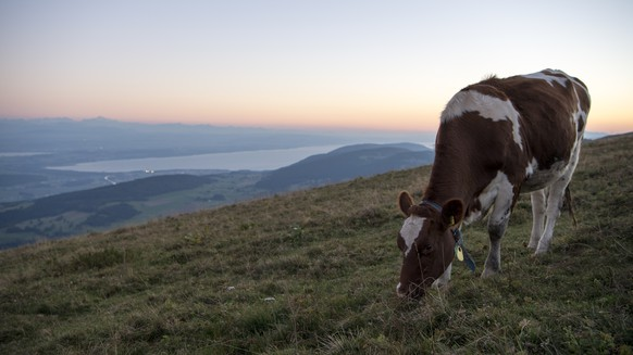 A cow is eating grass in a pasture during the sunset, at the summit