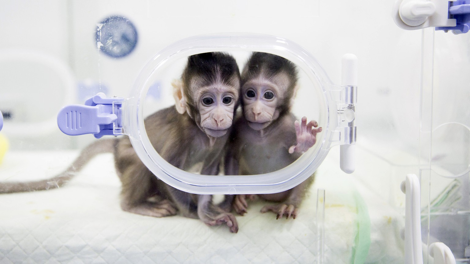 BILDPAKET -- ZUM JAHRESRUECKBLICK 2018 JANUAR, STELLEN WIR IHNEN HEUTE FOLGENDES BILDMATERIAL ZUR VERFUEGUNG -- In this Jan. 22, 2018, photo released by China's Xinhua News Agency, cloned macaques Zhong Zhong and Hua Hua sit in a lab at the non-human primate research facility of the Chinese Academy of Sciences. For the first time, researchers have used the cloning method that produced Dolly the sheep to create two healthy monkeys. That brings science an important step closer to being able to do the same with humans. (Jin Liwang/Xinhua via AP)
