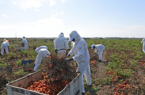 epa07864250 Workers of Megamark Group collect tomatoes in Foggia, Italy, 23 September 2019. According to reports, the first ethical chain in Italy against illegal employment starts operating at the Foggia countryside. An experimental project, aiming to respect workers rights, provides national contracts, housing, transport, medical examinations safety equipemnt and chemical toilets for migrant workers. The chain produces five types of preserves of organic tomatoes, fruits and vegetables, which are marked with the ethical badge 'NoCap'.  EPA/FRANCO CAUTILLO