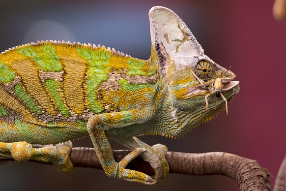 epaselect epa07244548 A Veiled Chameleon (Chameleon calyptratus) eats a grasshopper during the exhibition 'Reptiles Expo' in Villeneuve, Switzerland, 22 December 2018. The 'Reptile Expo' is the largest reptile travelling exhibition in Europe, with more than 200 animals presented from 21 December 2018 through 03 March 2019.  EPA/LAURENT GILLIERON