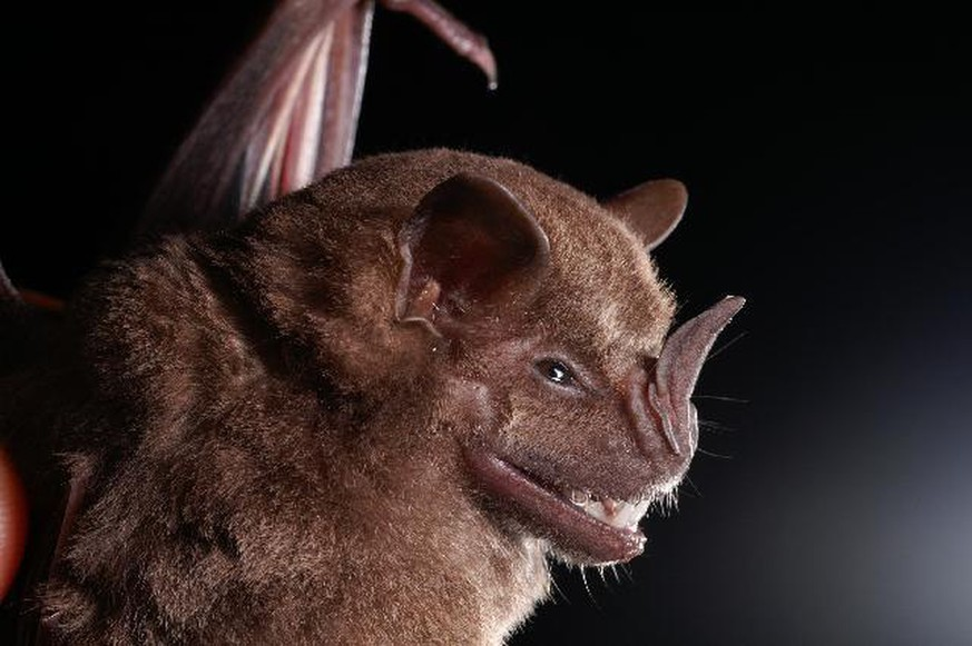 Jamaika-Fruchtfledermaus (Artibeus jamaicensis) By Alex Borisenko, Biodiversity Institute of Ontario - Entry on Artibeus jamaicensis at BOLD Systems - Image, CC BY-SA 3.0, https://commons.wikimedia.org/w/index.php?curid=14701767
