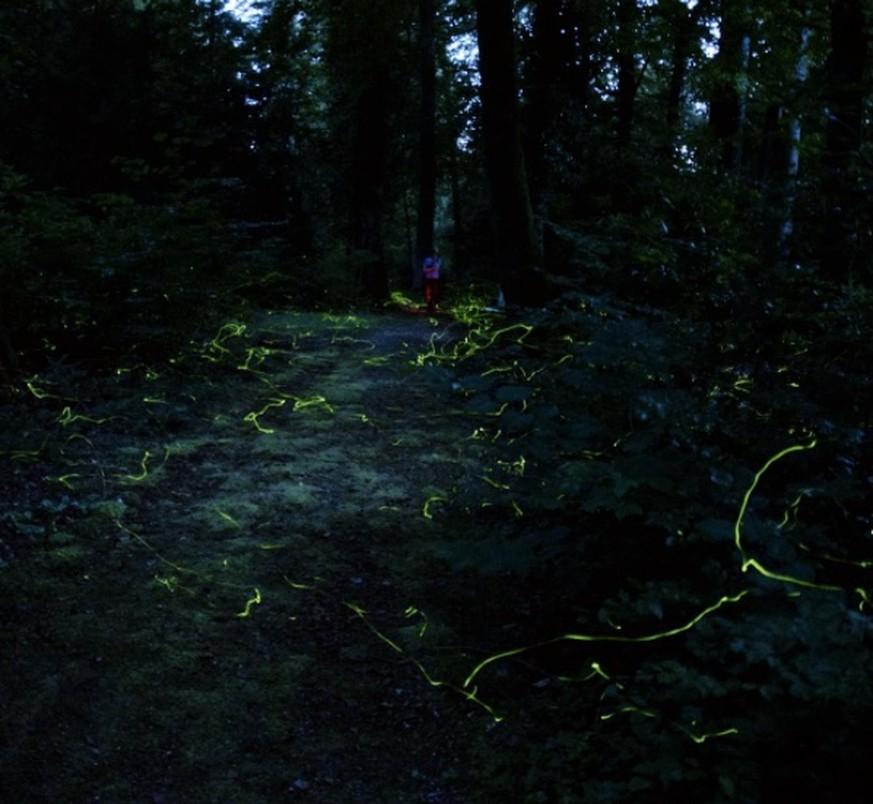 Spektakel auf dem Waldfriedhof: Tausende Glühwürmchen fliegen wieder ...