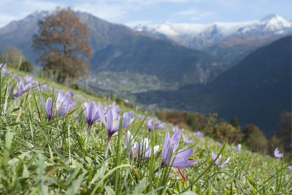 Crocuses, pictured on October 25, 2013, in Mund, canton of Valais, Switzerland. In Switzerland, saffron has been cultivated only in Mund for centuries. 130 planters work there, but nobody can make a living from saffron. A kilogram of saffron is worth between 18,000 and 20,000 Swiss Francs, but the 18,000 square meters only yield between 1.5 and 4 kilograms, depending on the weather. The harvest is usually in October, but this year it is late as a result of the weather conditions. (KEYSTONE/Gian Ehrenzeller)Krokusse, aufgenommen am Freitag, 25. Oktober 2013, in Mund. In der Schweiz wird nur in Mund Safran angebaut, und das seit Jahrhunderten. 130 Pflanzer arbeiten hier, wobei niemand vom Safran lebt. Zwar bringt ein Kilogramm Safran zwischen 18'000 und 20'000 Franken ein. Die 18'000 bepflanzten Quadratmeter werfen aber nur zwischen 1,5 und 4 Kilogramm ab, je nach Witterung. Geerntet wird normalerweise im Oktober. Dieses Jahr ist die Ernte witterungsbedingt verspaetet. (KEYSTONE/Gian Ehrenzeller)