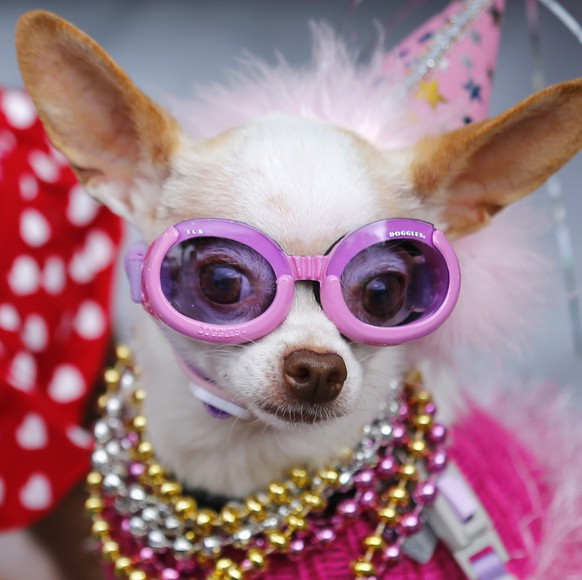 Bianca, a chihuahua, arrives in a baby carriage with other pet dogs to compete in the second annual Doggie Gras Parade and Fat Cat Tuesday Celebration at the Helen Woodward Animal Center in Rancho Santa Fe, California March 4, 2014. Bianca won the contest and was named queen of the doggie Gras parade.    REUTERS/Mike Blake (UNITED STATES - Tags: SOCIETY ANIMALS)