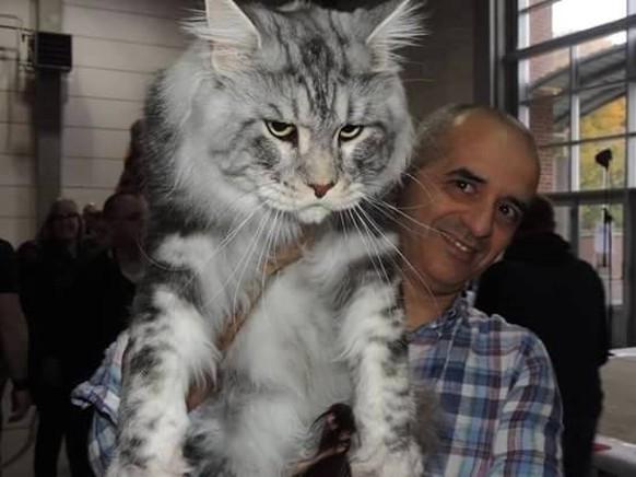 Riesen Katzen