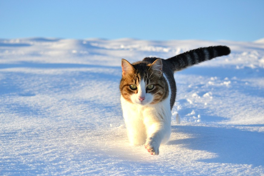 Katze im Schnee   http://www.wallpapercase.com/2016/01/28/cat-in-the-snow-%ED%8C%94%EB%A1%9C%EC%9A%B0_playful-cats_ykrlqmq/