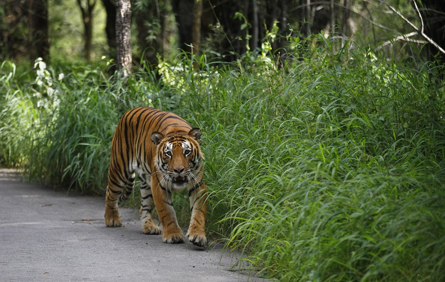 A Bengal tiger walks along a road ahead on Global Tiger Day in the jungles of Bannerghatta National Park, 25 kilometers (16 miles) south of Bangalore, India, Wednesday, July 29, 2015. India's latest tiger census conducted in 2014 showed a sharp increase in the number of the endangered cats in the wild. The country has nearly three-fourths of the world's estimated 3,200 tigers. (AP Photo/Aijaz Rahi)