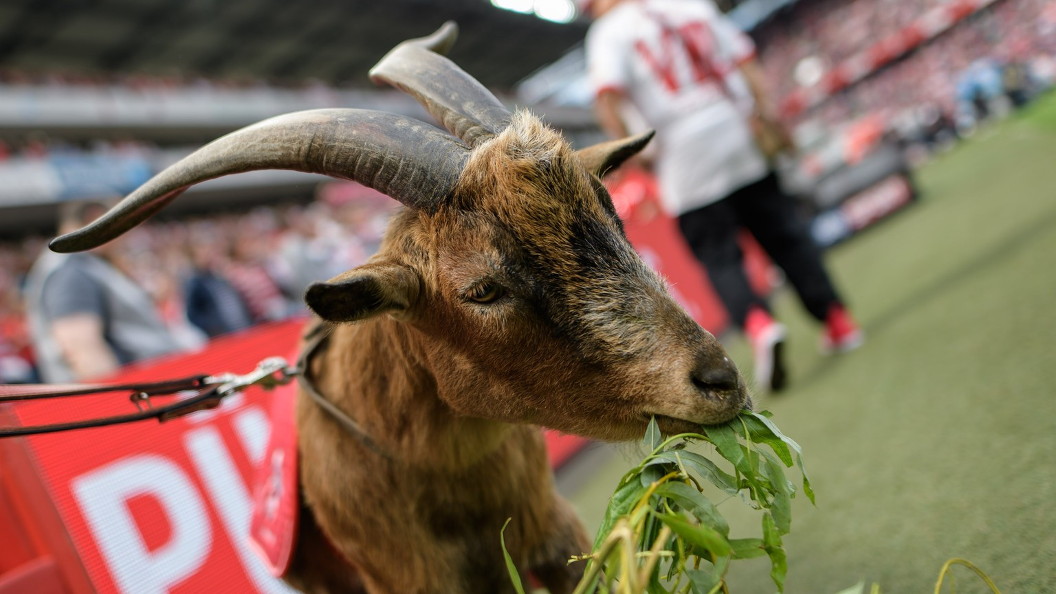 epa05976400 Colognes mascotte Hennes VIII having lunch during the German Bundesliga soccer match between 1.FC Koeln (Cologne) and FSV Mainz 05 in Cologne, Germany, 20 May 2017.  EPA/JOERG SCHUELER EMBARGO CONDITIONS - ATTENTION: Due to the accreditation guidelines, the DFL only permits the publication and utilisation of up to 15 pictures per match on the internet and in online media during the match.