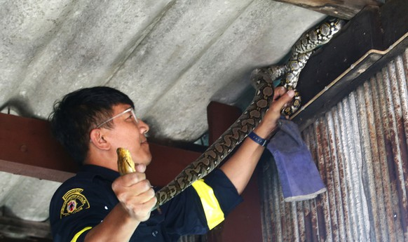 In this Nov. 3, 2017, photo, fireman Phinyo Pukphinyo catches a python on a garage roof in Bangkok, Thailand. When the latest distress call came into Phinyo Pukphinyo's fire station in Bangkok, it was not about a burning home or office building. Instead, the caller needed urgent help with a far more common problem facing Thailand's capital: snakes. City authorities say the number of snakes caught in Bangkok homes has risen exponentially in recent years, from 16,000 reported cases in 2013 to about 29,000 in 2016. Figures for the first half of 2017 are over 30 percent higher than last year.  (AP Photo/Sakchai Lalit)