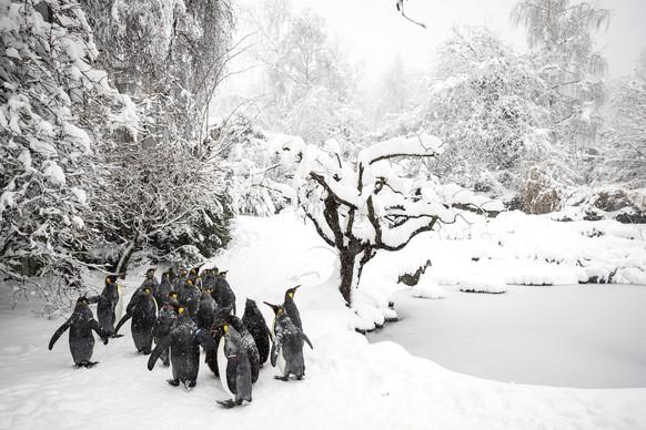 Koenigspinguine im Schnee, aufgenommen am Donnerstag, 14. Januar 2021, im Zoo Zuerich. (KEYSTONE/Alexandra Wey)