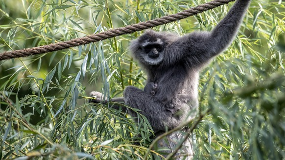 epa06948596 Silvery gibbon Alangalang holds her one week old baby in enclosure at the Zoo in Prague, Czech Republic, 14 August 2018. According to Prague Zoo, the baby is the second silvery gibbon to be born in the Czech Republic. Silvery gibbons can only be found in the wild on the island of Java, where there are less than 2,500.  EPA/MARTIN DIVISEK