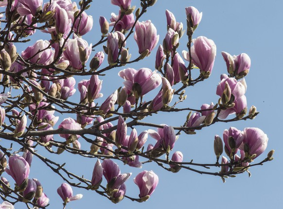 Magnolien bluehen am Donnerstag, 13. Maerz 2014, in Manno,TI. (KEYSTONE/Karl Mathis)....A magnolia tree blooms in Manno, Swiss canton of Tessin, Thursday, March 13, 2014. (KEYSTONE/Karl Mathis)