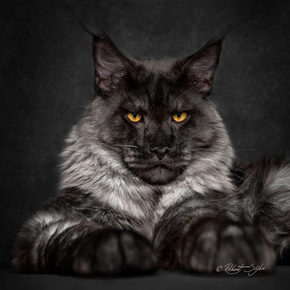 Nach Diesen 52 Main Coon Katzen Bist Du Busisuchtig Watson