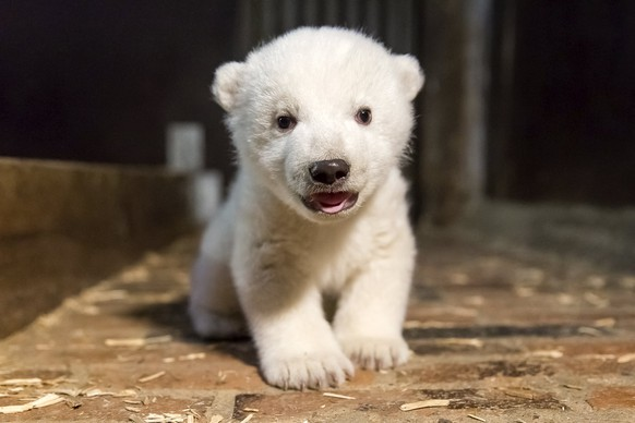 epa05833556 (FILE) - A file handout image made available on 13 January 2017 by Berlin's Tierpark Zoo shows the then unnamed polar bear cub during an inspection to determine its condition and sex, in Berlin, Germany, late 12 January 2017. The four-month-old polar bear cub Fritz was on 06 March 2017 found listless in his enclosure making zookeepers fear for its live. Fritz was scheduled to be presented to the public in March.  EPA/TIERPARK BERLIN HANDOUT  HANDOUT EDITORIAL USE ONLY/NO SALES
