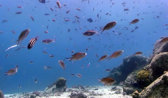This undated screen grab of a video by the Harbour Village Beach Club and released by the Fabian Cousteau Ocean Learning Center, shows fish in the Caribbean Sea near the western shore of Bonaire. Underwater cameras are tracking reefs off Bonaire as part of a project that will include the use of 3D printers to create extremely realistic artificial reef habitat that backers hope will foster natural habitat development in damaged reefs elsewhere in the world. (Fabian Cousteau Ocean Learning Center via AP)