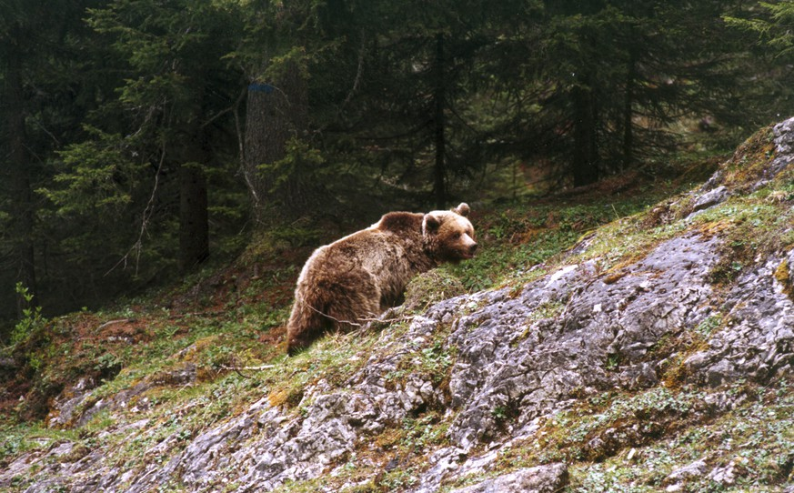 This photo taken on May 18, 2000 provided by the Provincia autonoma di Trento press office shows bear Daniza at the Adamello Brenta park, northern Italy. Animal rights groups called Thursday, Sept. 11, 2014 for the resignation of Italy's environment minister and the forestry police opened an investigation after a mother bear died during a capture operation ordered after she scuffled with a forager as her cubs slept nearby. Daniza's fate has captivated Italians ever since a mushroom scavenger reported she attacked him in mid-August in northern Trento province. The issue gained attention because Daniza was part of an EU-funded operation to reintroduce brown bears to the region after they were nearly wiped out decades ago. (AP Photo/Provincia Autonoma di Trento)