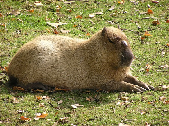 Capybarahttps://commons.wikimedia.org/wiki/File:Male_capybara.jpg