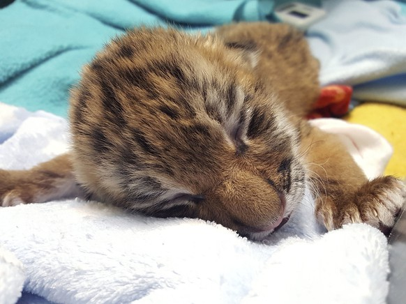 This Dec. 11, 2017, photo released by Connecticut's Beardsley Zoo shows one of two new tiger cubs at the zoo in Bridgeport, Conn. The zoo's 10-year-old Amur tiger, Changbai, gave birth Nov. 25 to four cubs but only two survived. The 2-week-old female cubs, removed from the mother when she showed no interest in taking care of them, are in seclusion in the zoo hospital. They are being hand fed five times a day. (Connecticut's Beardsley Zoo via AP)