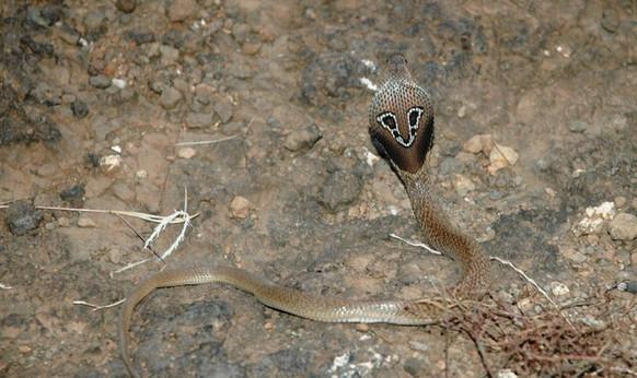 BrillenschlangeCute Newshttps://de.wikipedia.org/wiki/Brillenschlange#/media/File:Indian_Binocellate_Cobra.JPG