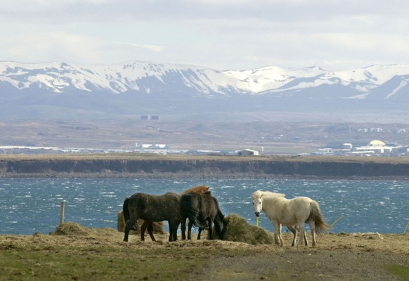 ** FILE ** In this May 11, 2002 file photo, Icelandic horses graze on an overlook of the Hvalfjoerdur Fjord outside Reykjavik, Iceland. A strong earthquake shook the island Thursday May, 29, 2008. The U.S. Geological Survey says the quake measured 6.1 magnitude.  (AP Photo/Virginia Mayo, File)