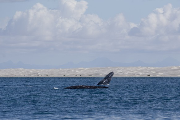 In this March 3, 2015 photo, a gray whale breaches the surface as another swims nearby in the Pacific Ocean waters of the San Ignacio lagoon, near Guerrero Negro, in Mexico's Baja California peninsula. Every year, an estimated 20,000 gray whales make one of the longest migrations of any mammal, from the Bering Sea to the warmer waters of Baja's lagoons. (AP Photo/Dario Lopez-Mills)