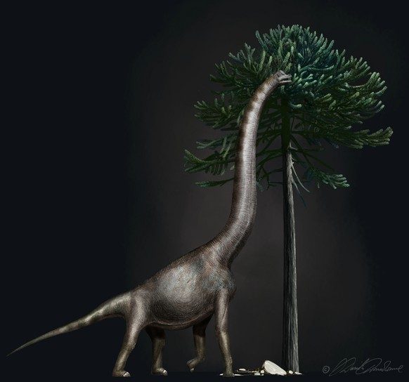 Image credit: A Brachiosaurus nibbling from an Araucaria tree. These dinosaurs had enormous necks and relatively short tails. The animal to which the foot belongs was nearly 4 meters high at its hip. Image copyright by Davide Bonadonna, Milan, Italy.