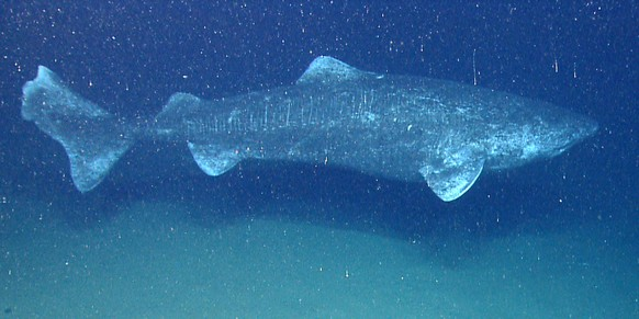 In the last couple minutes of the last dive of the field season we found the largest fish we have ever encountered with the ROV, a Greenland Shark.