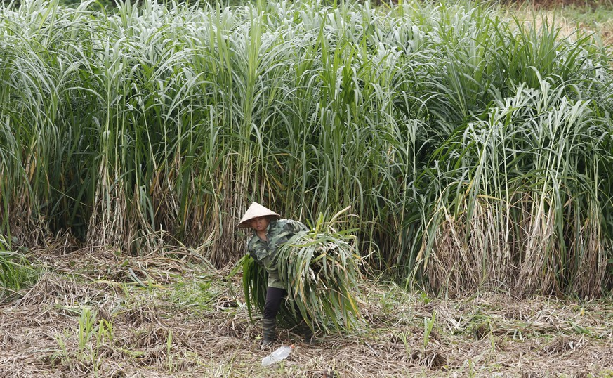 A woman carries sugar cane in Ba Vi, outside Hanoi, July 24, 2015. Three decades after Vietnam started moving away from a socialist-led farm economy towards manufacturing of big-brand textiles and electronics, some of its top firms are carving out opportunities in its $37 billion agriculture and seafood sector and looking to expand overseas, helped by free trade pacts. Picture taken July 24, 2015. REUTERS/Kham