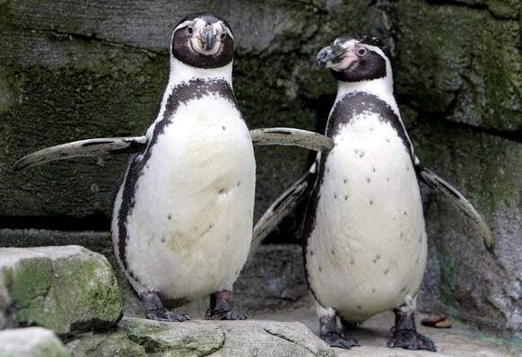 A couple of 'gay' penguins exchange tender affections at the zoo in Bremerhaven, Germany, Tuesday, 08 February 2006. This year's repeated attempt to breed offspring from the endangered species of so-called Humboldt penguins (spheniscus humboldti) has failed again after female penguins from Sweden were placed in the enclosure. Even the added penguin ladies from Sweden did not manage to break up the male gay couples, who found together at a time when there was a shortage of females in the enclosure at the zoo.  (KEYSTONE/EPA/INGO WAGNER)