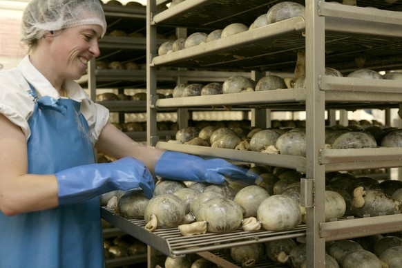 In this undated handout photo provided by Macsween, a worker prepares haggis at their factory near Edinburgh. The family firm make a range of haggis products, from the traditional meat haggis to the modern vegetarian kind. (AP Photo/Macsween)