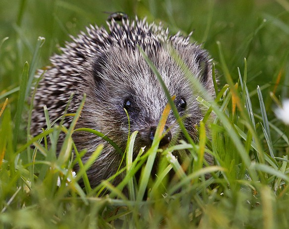 A hedgehog baby walks in the green grass and looks up on a meadow in Frankfurt, Germany, Wednesday, Sept. 27, 2017. (AP Photo/Michael Probst)