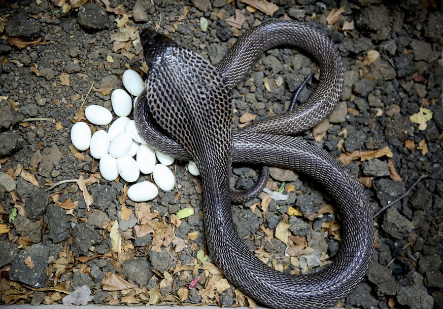 epa05950523 A female black cobra snake trails around her eggs at the Mohd Saleem snake expert rescue center in Bhopal, India, 08 May 2017. Cobra snakes lay 20 to 40 eggs at a time, which hatch in around 80 days.  EPA/SANJEEV GUPTA
