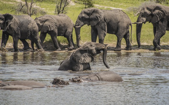 In this 2016 photo provided by researcher Connie Allen, male African elephants socialize along the Boteti River in Botswana. Female elephants are well-known to form tight family groups led by experienced matriarchs, but males were long assumed to be loners because they leave their mother