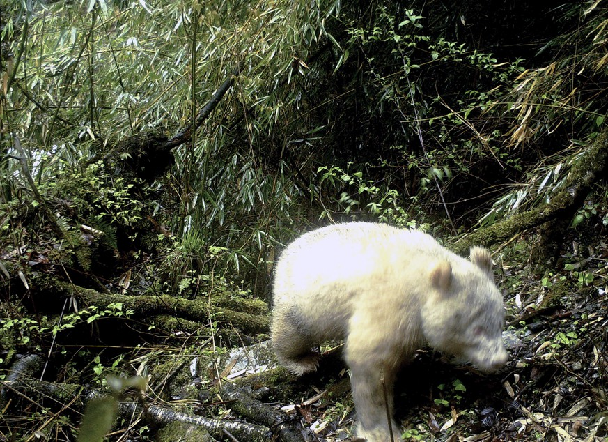 In this April 20, 2019, photo released by Wolong National Nature Reserve, an all white giant panda is captured by an infra-red triggered remote camera at the Wolong Nature Reserve in southwest China's Sichuan province. A rare all-white giant panda has been photographed for the first time in southwestern China, according to a statement by local authorities. Wolong National Nature Reserve released a photo on Saturday, May 25, 2019 clearly showing the panda, with full white fur and claws and red eyes, is crossing through the verdant forest. (Wolong National Nature Reserve via AP)