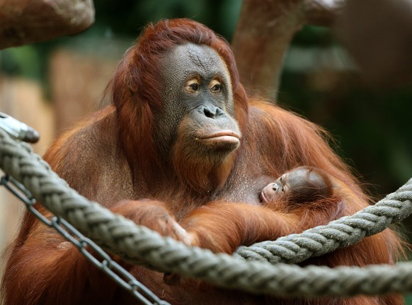 epa05664081 The merely three day old and yet nameless Orang-Utan baby clings tight to its mother 'Lea' at the zoo in Krefeld, Germany, 07 December 2016. The 21 years old mother was raised by humans.  EPA/ROLAND WEIHRAUCH