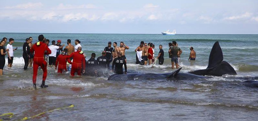 epa04397263 People try to rescue seven sperm whales that stranded at Vasto beach (Chieti), Italy, 12 September 2014. Three of them died, the other four were successfully released to the sea.  EPA/MASSIMILIANO SCHIAZZA