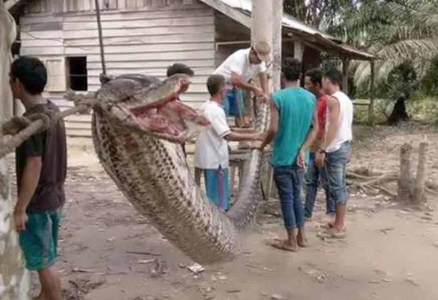 Sieben-Meter-Python gefangen - und gegessen