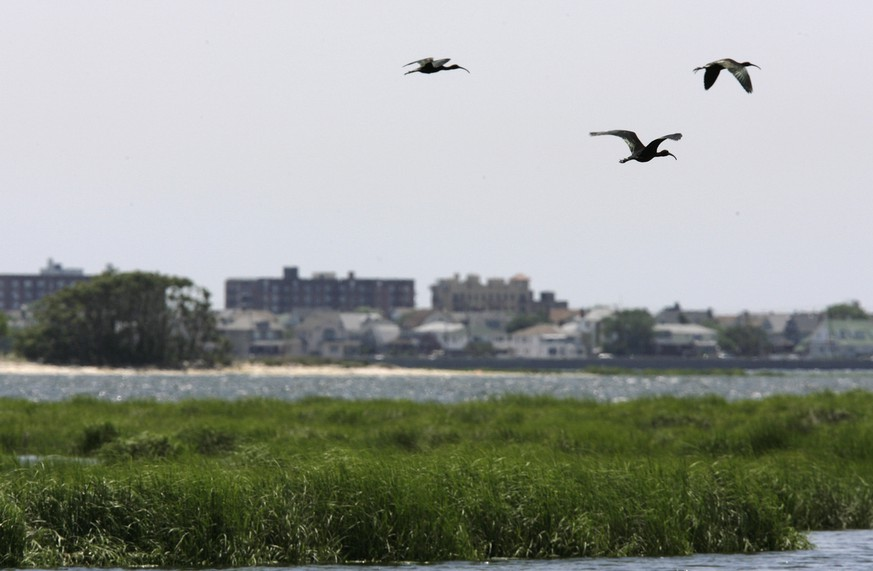 A trio of glossy ibis fly over the marshes of Jamaica Bay in New York, Thursday, June 21, 2007. Experts disagree on the reasons, but the marshes are dying off and advocates say unless more is done to protect them, the marshes will disappear in less than 20 years. (AP Photo/Kathy Willens)
