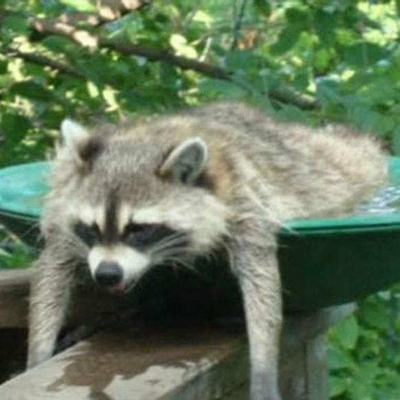 Waschbär von Hitze erschlagen. http://imgur.com/8PezjBH Cute News