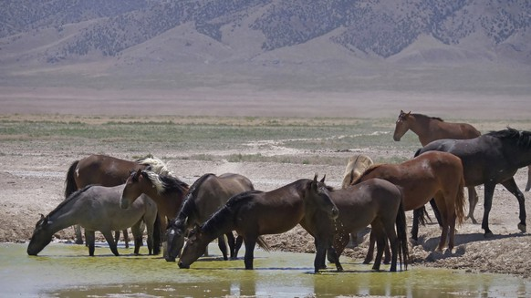 FILE - In this June 29, 2018, file photo, wild horses drink from a watering hole outside Salt Lake City. The U.S. Bureau of Land Management has approved construction of corrals in Colorado, Wyoming and Utah that can hold more than 8,000 wild horses captured on federal rangeland in the West, a move that should allow the agency to accelerate roundups that have been slowed by excess capacity at existing holding facilities. (AP Photo/Rick Bowmer, File)