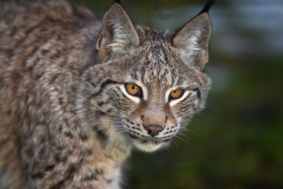 FILE - January 03, 2016: The Lynx Trust are seeking permission to run a trial introducing 6 lynx back into the wild in the UK. KINCRAIG, SCOTLAND - DECEMBER 16:  A young Lynx waits to be fed in their enclosure at the Highland Wildlife Park on December 16, 2015 in Kincraig,Scotland. Concerns have been raised by Scottish landowners in over proposals to reintroduce Lynx back into the ecosystem in the wilds of Scotland. The Lynx UK Trust has been asking Scottish Land and Estates groups, their views on bringing the wild cat back into trial sites in Aberdeenshire, Argyll, and the Borders.  (Photo by Jeff J Mitchell/Getty Images)
