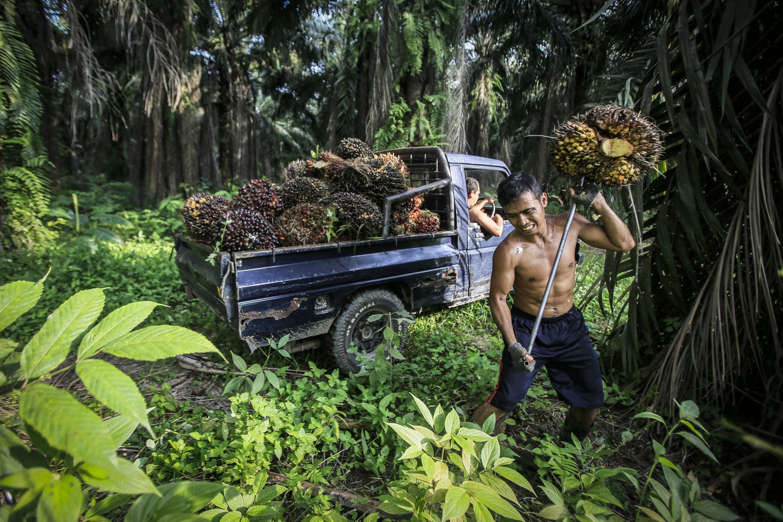 ARCHIV – ZUM NEUEN WASCHMITTEL OHNE PALMOEL DER FIRMA GOOD SOAPS AM DIENSTAG, 19. JUNI 2018, STELLEN WIR IHNEN FOLGENDES BILDMATERIAL ZUR VERFUEGUNG -- (08/42) An Indonesian worker harvests palm fruits at a palm oil plantation in Deli Serdang, North Sumatra, Indonesia, 16 September 2016. Indonesia is the world's largest producer of Palm Oil, made from the palm fruit, followed closely by Malaysia. Palm plantations built on destroyed tropical rainforest, have seen the death and displacements of many species, among them the endangered orangutan. Palm oil is an ingredient in many products across supermarket shelves. Consumer groups are pressing end users to buy only products containing substitutes or sustainably sourced palm oil, warning species and pristine habitats are on the brink of being lost forever to humankind.  EPA/DEDI SINUHAJI