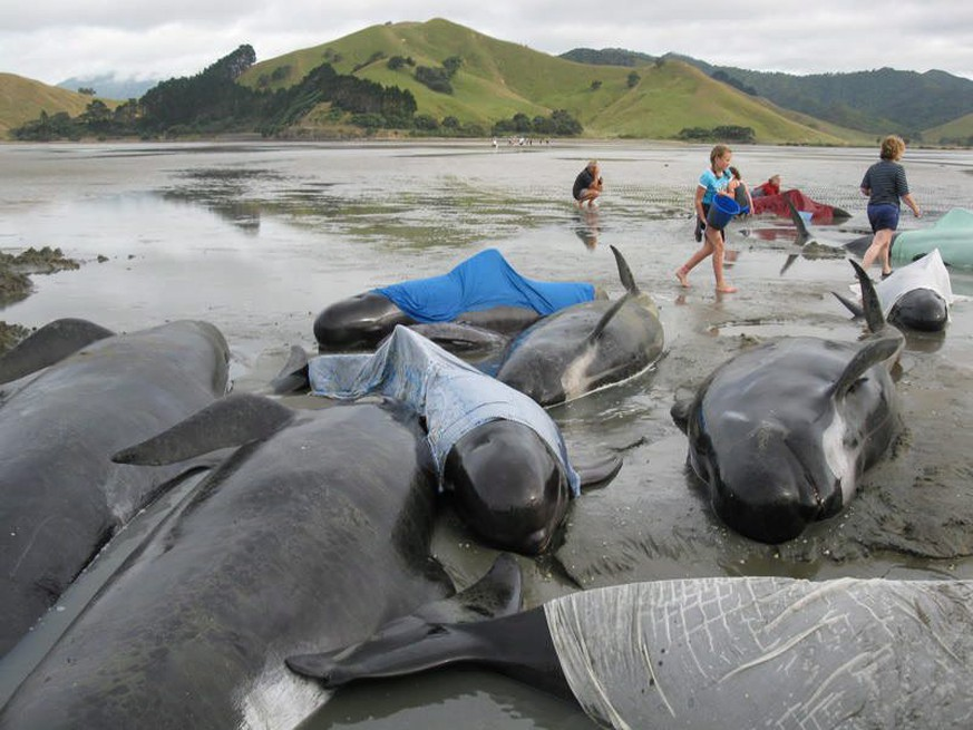 epa04617541 (FILE) A handout photo dated 27 December 2009 made by Ursula Walsh  showing volunteers refloating stranded whales at Colville Bay on North Island's Coromandel Peninsula in New Zealand. Reports on 13 February 2015 state a mass stranding of 198 pilot whales on 13 February in New Zealand left about 50 dead, a local media reported. Three-quarters of the whales have been refloated but have not yet been able to swim to deeper waters, Radio New Zealand said. The whales became stuck on Farewell Spit, a narrow sandbar at the northern tip of the South Island, the Department of Conservation said. Department staff and volunteers from whale conservation group Project Jonah took part in the refloating attempt on the evening high tide, department spokeswoman Jose Watson said.  EPA/URSULA WALSH / HANDOUT  HANDOUT EDITORIAL USE ONLY/NO SALES *** Local Caption *** 01975762