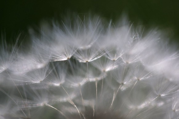 The top of a dandelion seed head is seen in the morning light in Marysville, Pa., Wednesday, May 13, 2009. (AP Photo/Carolyn Kaster)