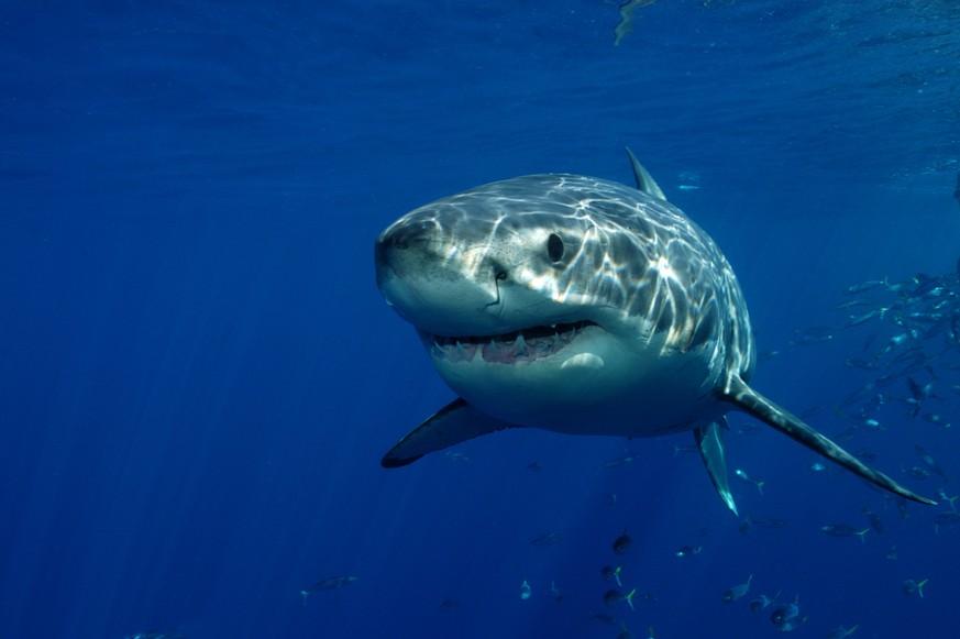 Cabrera/Balearen: Weißer Hai im Mittelmeer gesichtet