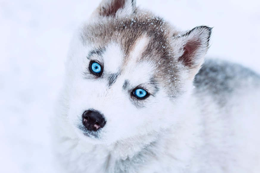 Woher der Husky seine blauen Augen hat - watson