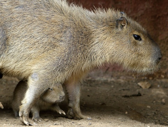 A capybara pup (Hydrochoerus hydrochaeris)  sit under its mother, at the private Attica Zoological Park in Spata, east of Athens, Thursday, April 17, 2014. Four pups, two male and two female,  who have yet to be given names yet, were born two weeks ago and are one of the new popular attractions at the park.  (AP Photo/Thanassis Stavrakis)
