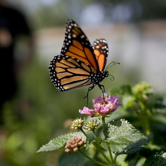FILE - In this Aug. 19, 2015, file photo, Tom Merriman stands behind a monarch in his butterfly atrium at his nursery in Vista, Calif. Milkweed has long been considered a nuisance on North American farmlands but now, more than 100 farmers in Quebec and Vermont are planting it in their fields to help restore the declining population of monarchs, which use that plant exclusively for their eggs and to feed the caterpillars. The farmers are also tapping a new market for the milkweed fibers. (AP Photo/Gregory Bull, File) A monarch butterfly alights on milkweed flowers at Tom Merriman's nursery in Vista, California, Aug. 19, 2015. Milkweed has long been considered a nuisance on North American farmlands but now, more than 100 farmers in Quebec and Vermont are planting it in their fields to help restore the declining population of monarchs, which use that plant exclusively for their eggs and to feed the caterpillars. The farmers are also tapping a new market for the milkweed fibers. (AP Photo/Gregory Bull)